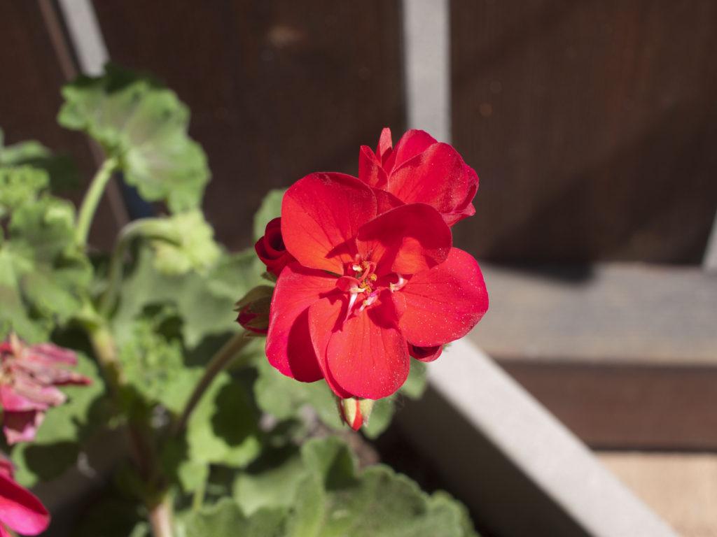 géraniums rouge eu gite du relais des vignes